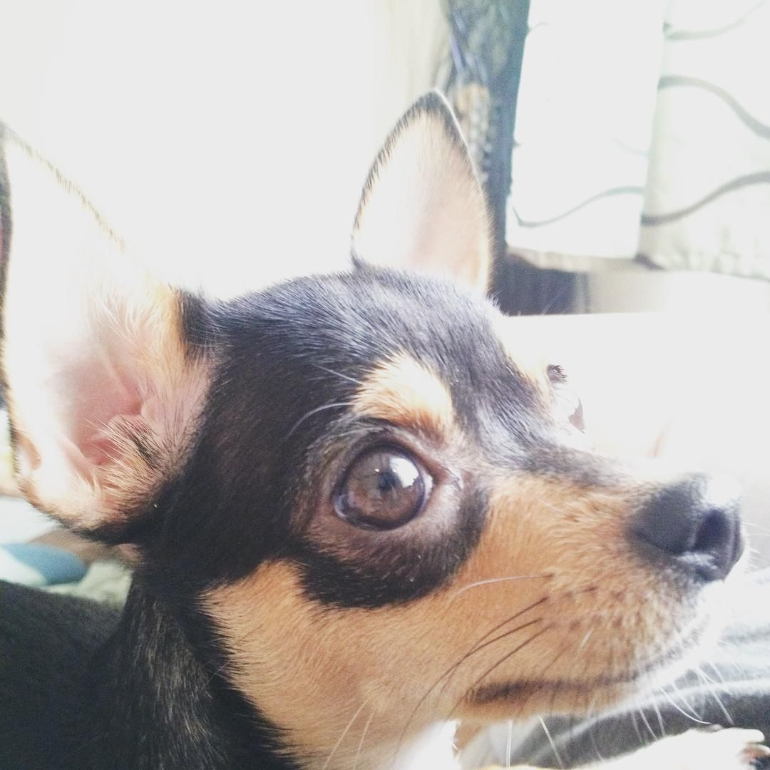 I Am A Chihuahua Adopted From Paws And I Am Proud Of It A Classic Case Of Rags To Riches Khaleesiadogable Chihuahua Pets Corgi
