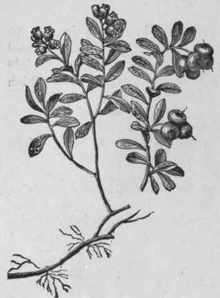 Fig. 28.   Bearberry. Reduced to about one fourth natural size. (Maisch.)