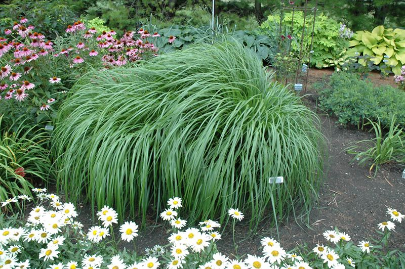 Red Head Fountain Grass Pennisetum Alopecuroides Red Head At