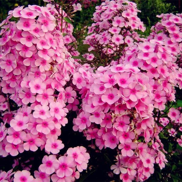 New Arrival Home Garden Plants 100 Seeds Outdoor Perennial Phlox Seeds Planting Phlox Flower Seeds Free Shipping 100 Phlox Flowers Flower Seeds Blooming Plants