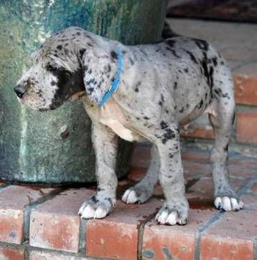 Blue Merle Great Dane Puppy Updated June 24 2012 Merle Great