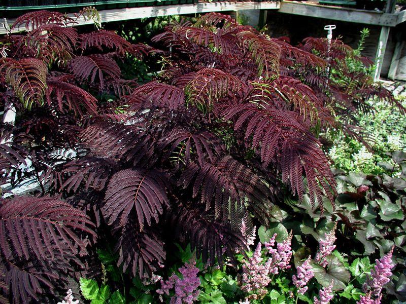 purple leaf plants photo of the leaves of purple leaf. Black Bedroom Furniture Sets. Home Design Ideas