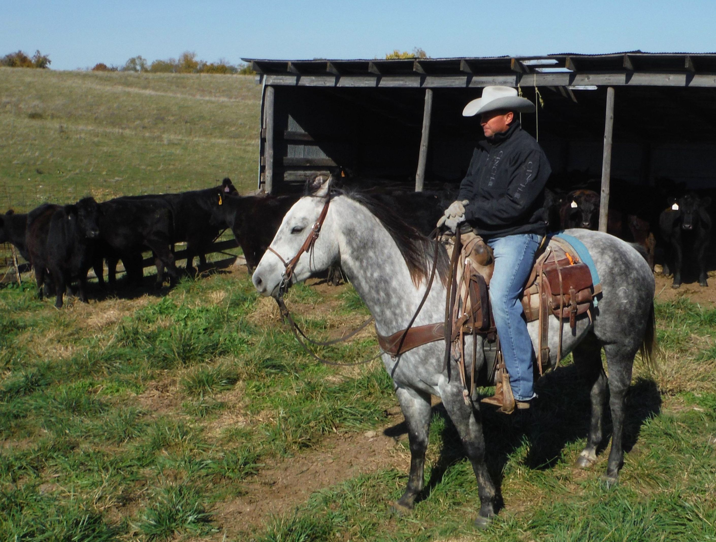 Gray Ranch Horse Gelding for Sale - For more information click on image or see ad # 31689 on www.RanchWorldAds.com