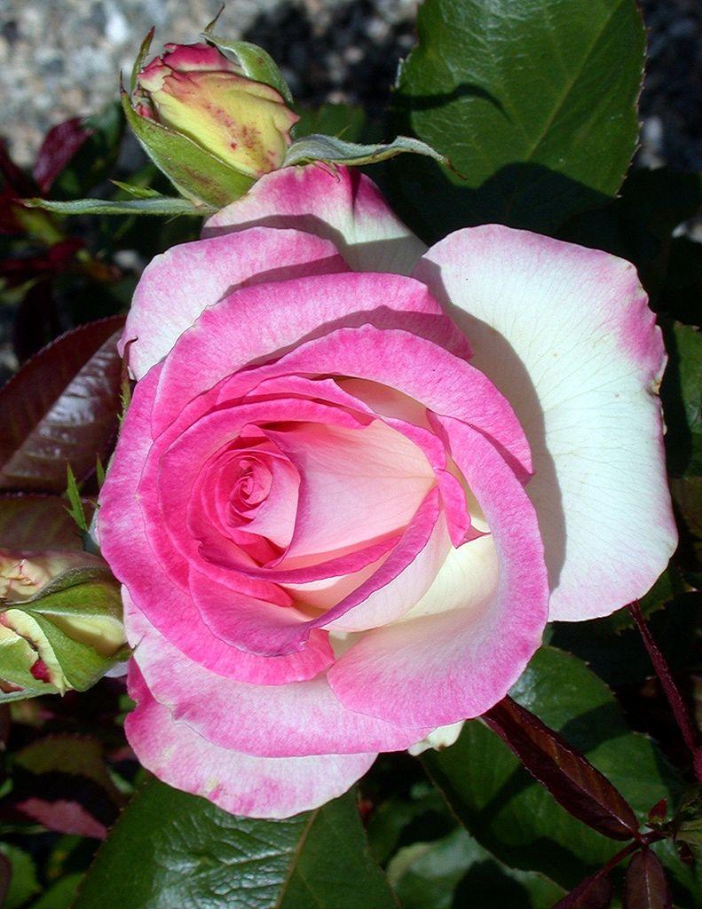 Lynn Anderson Rose Hybrid tea roses, Tea roses, Rose
