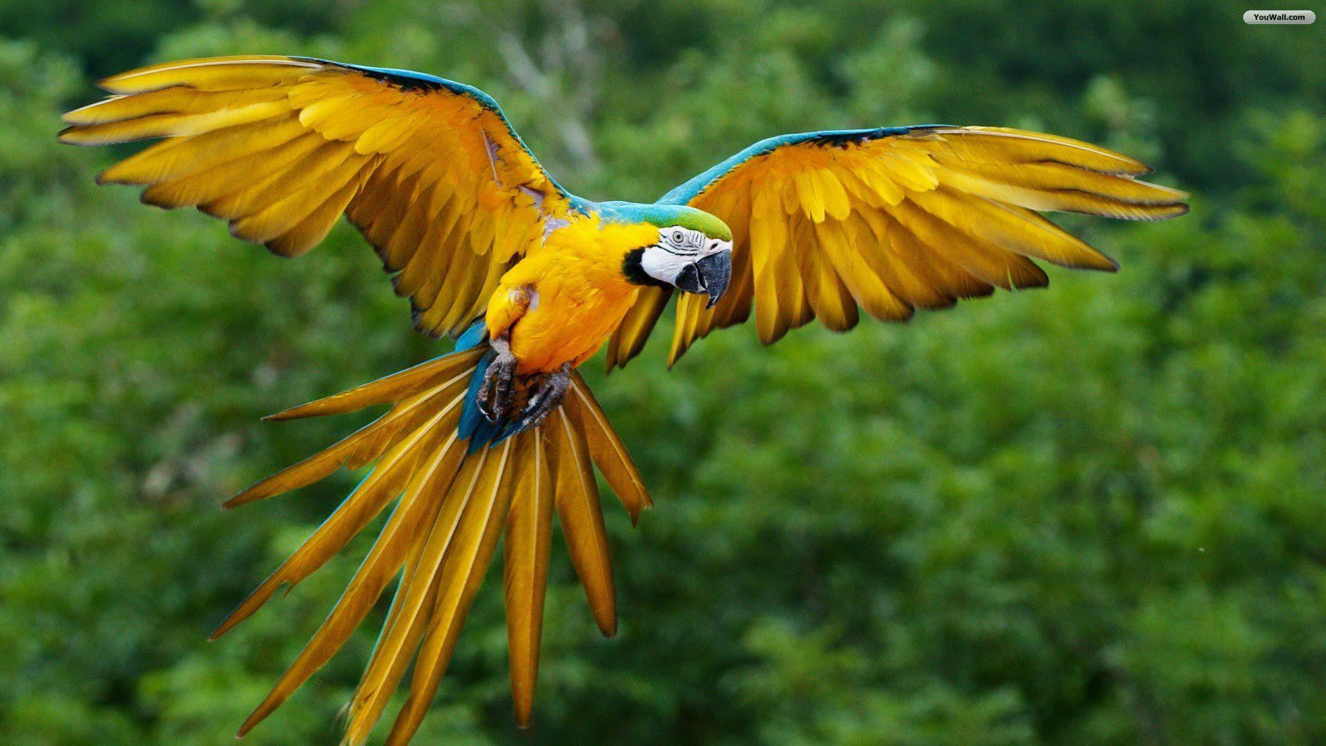 Wonderful Flying Parrot HD Wallpapers Download Free Parrot Desktop ...