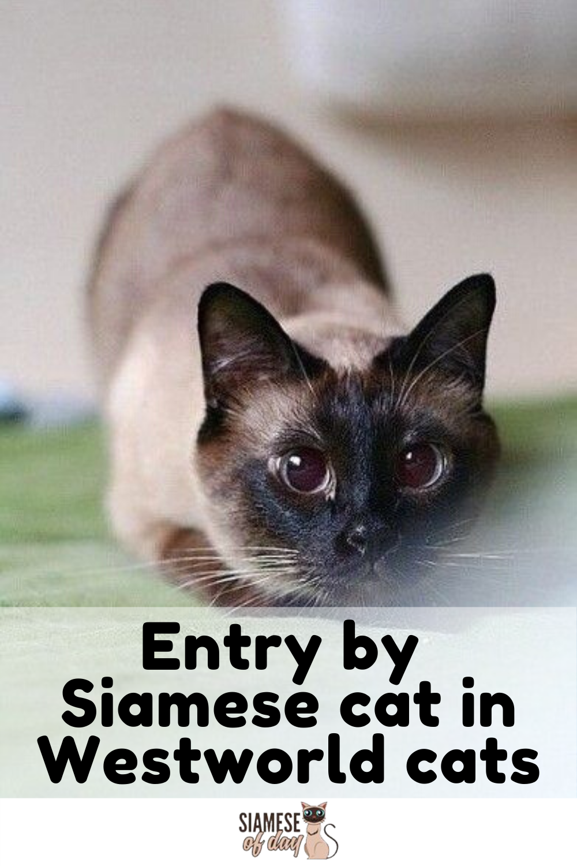 Royal Siamese Cat Mysterious Genetics History In 2020 Siamese Cats Siamese Kittens Siamese