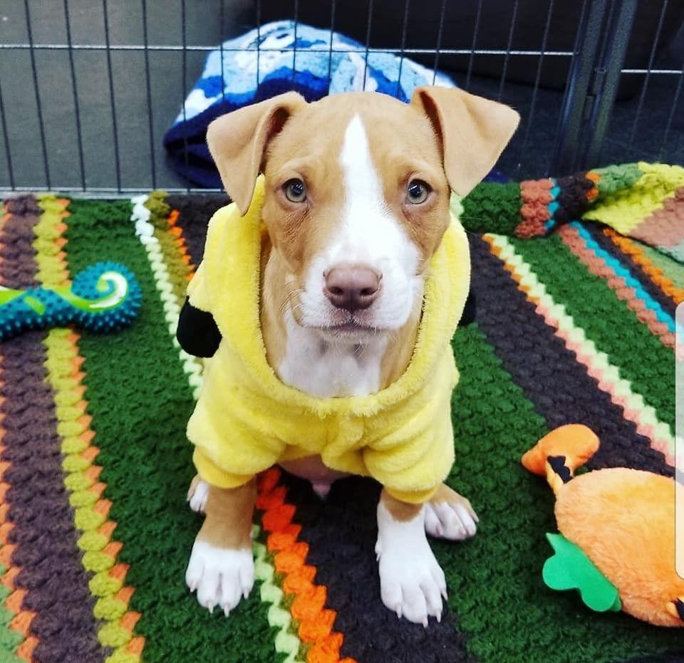 Pitbull Terrier, Pitbulls, Man, Dog