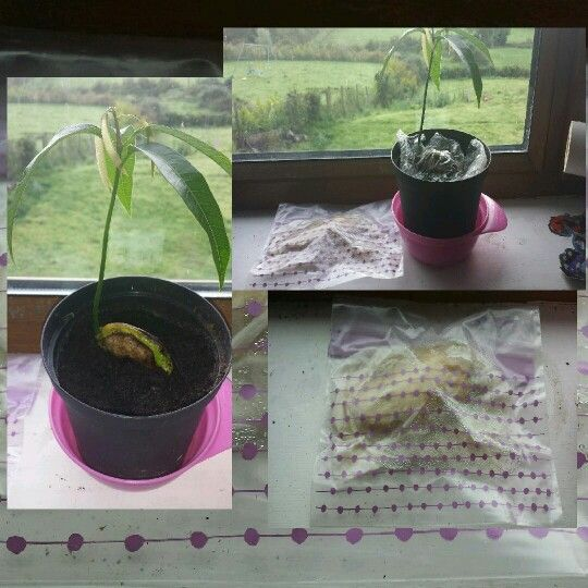 Growing mango tree from fruit seed .    Easy steps. Buy mango. Eat mango, enjoy! Save seed, and scrape carefully as much flesh off as you can. Place seed between a few layers of damp paper towel and seal in Sandwich bag. Put on sunny window sill. After about 2 weeks it should have sprouted. Plant in some compost on same sill. I didn't cover seed completely at this stage but left some cling film loosely on to to prevent drying. It kept soil moist. Only after it had established good leaves did…
