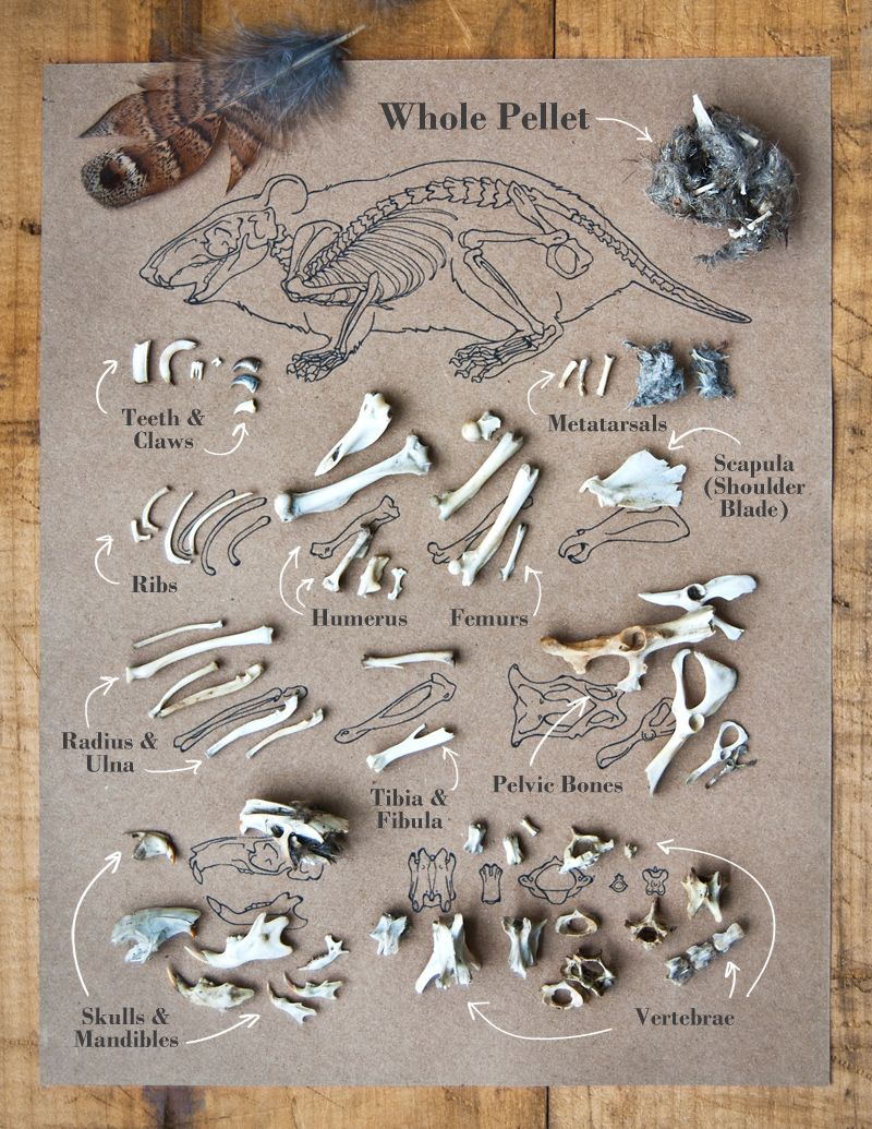 mouse bones found in owl pellets - photograph and illustration by, Skeleton