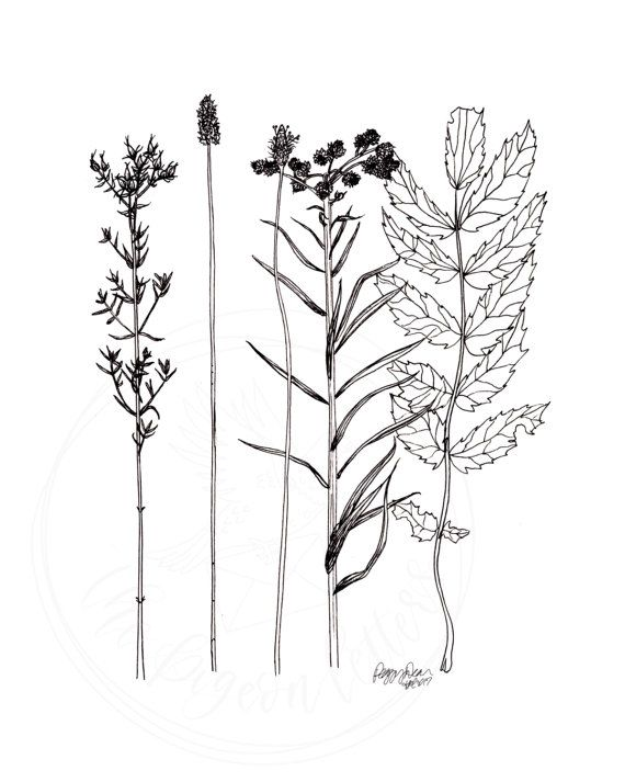 Botanical Line Drawing Wildflower Illustration With Images