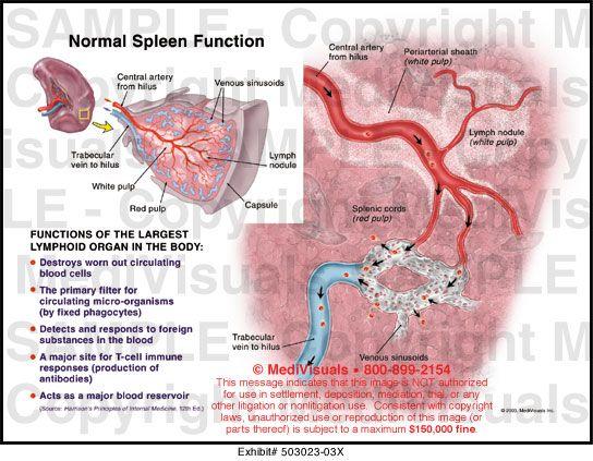 spleen function   Anatomy   Pinterest