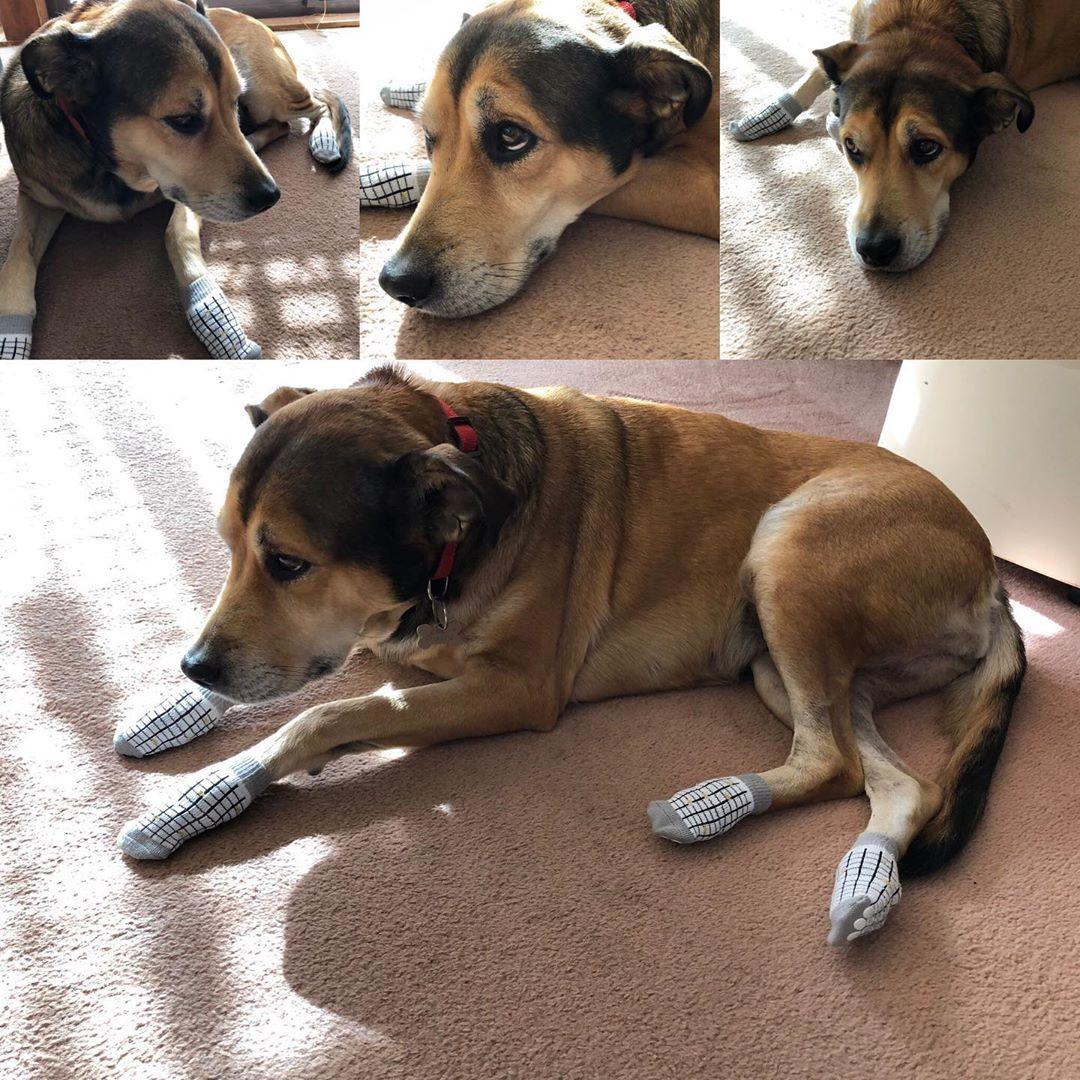 itsadogblog jessie does not like her new winter socks