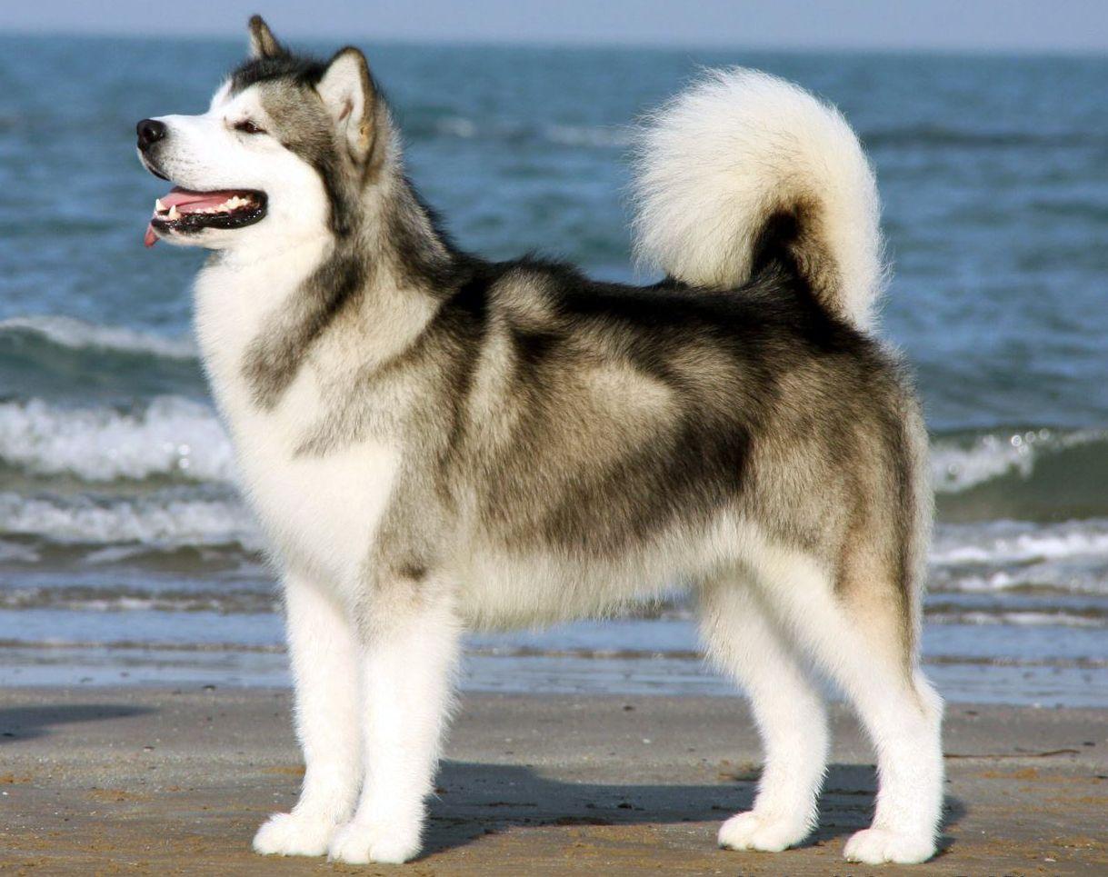 Alaskan Malamute Centro Selezione Del Biagio Malamute Dog