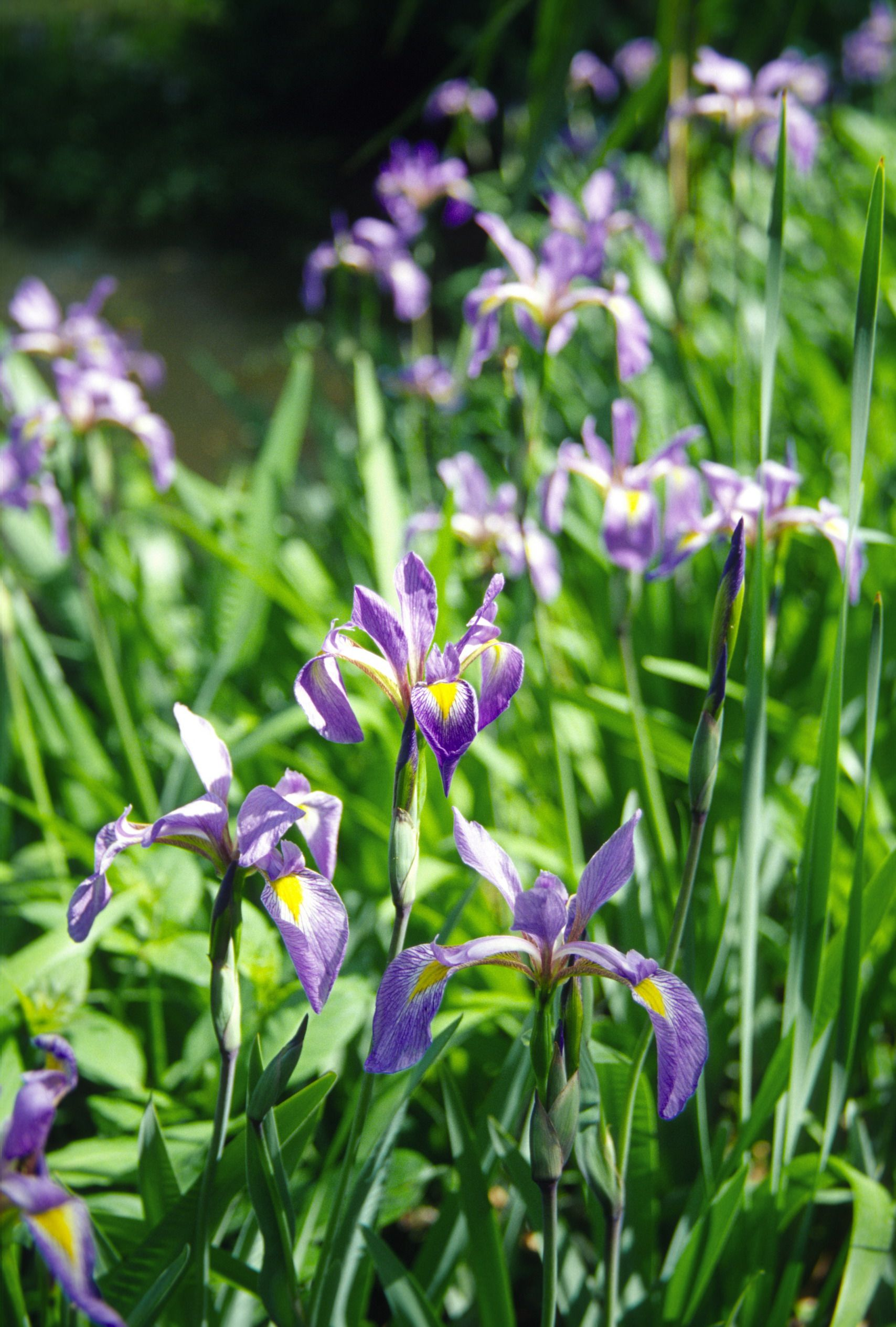I miss wild iris pretty pretty flower pinterest flowers collecting seeds from your own iris beds is almost sure to produce interesting results since most cultivars do not necessarily remain true to the parent izmirmasajfo
