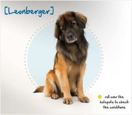 The Leonberger Is A Large Breed Dog That Originated In Leonberg