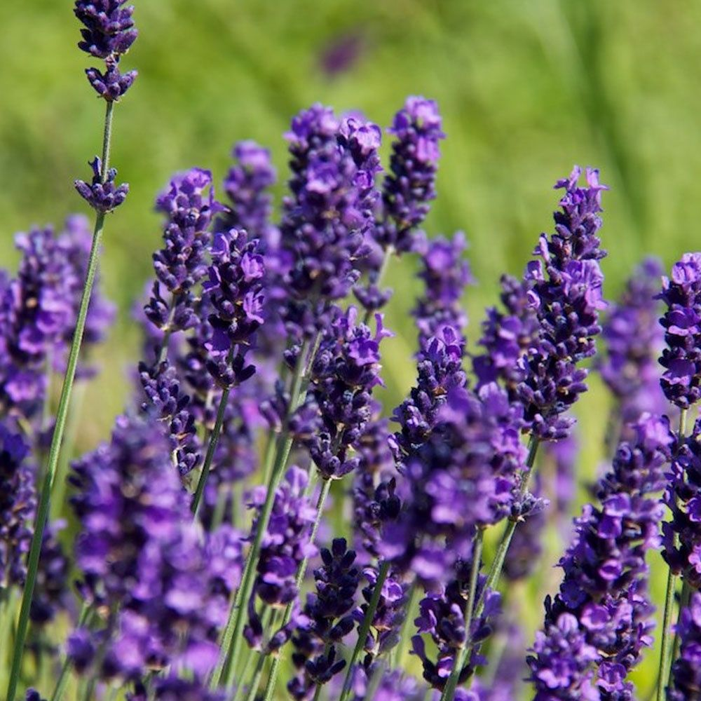 the popular lavender hidcote hedge plants produce masses. Black Bedroom Furniture Sets. Home Design Ideas