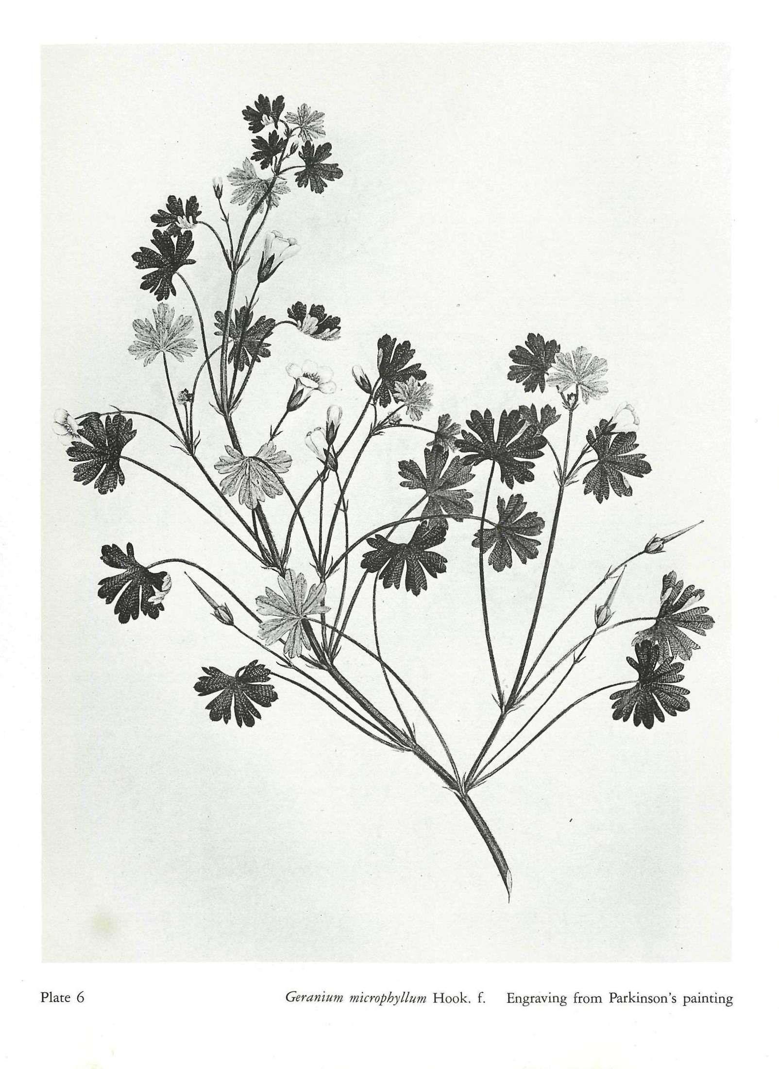 how to draw a geranium leaf
