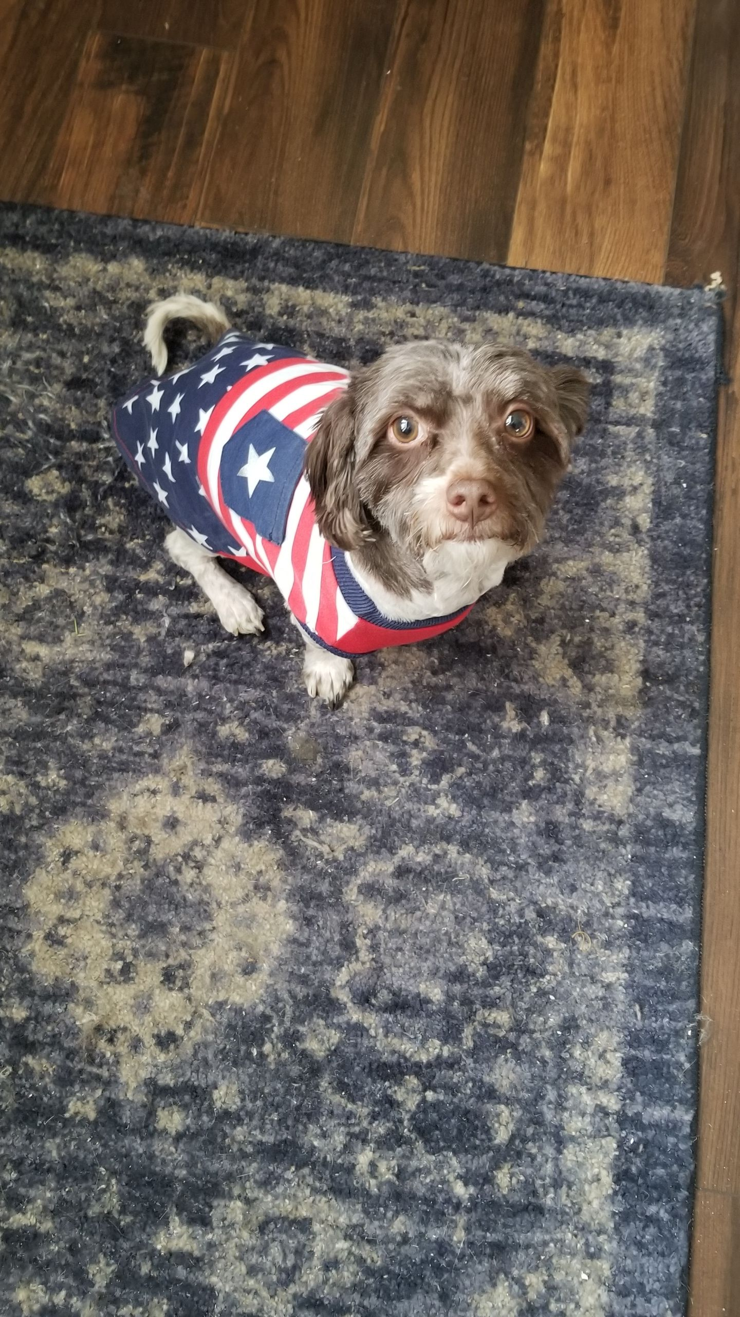 Proud to be an American! Buster brown, Havanese, Animals