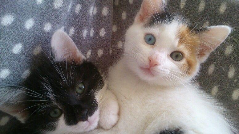 One blue eye and one green eye kittens green eyes animals