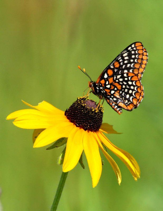 Checkerspot Erfly On A Black Eyed Susan Google Search