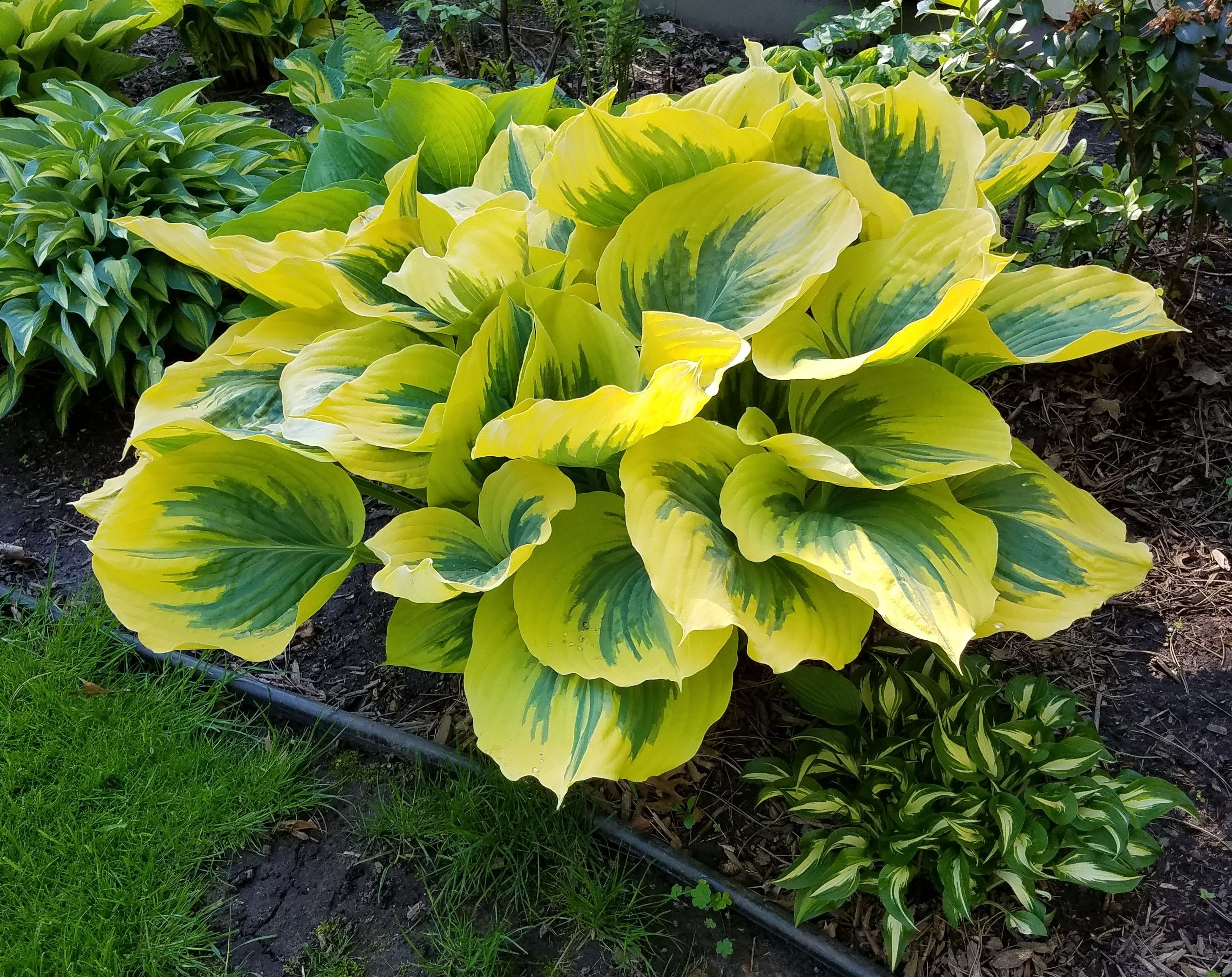 Hosta U0027Ivory Coastu0027 | Hostas Direct