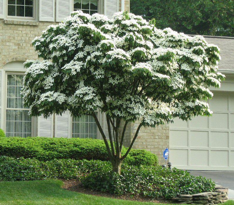 cornus kousa kousa dogwood gardens and landscaping. Black Bedroom Furniture Sets. Home Design Ideas