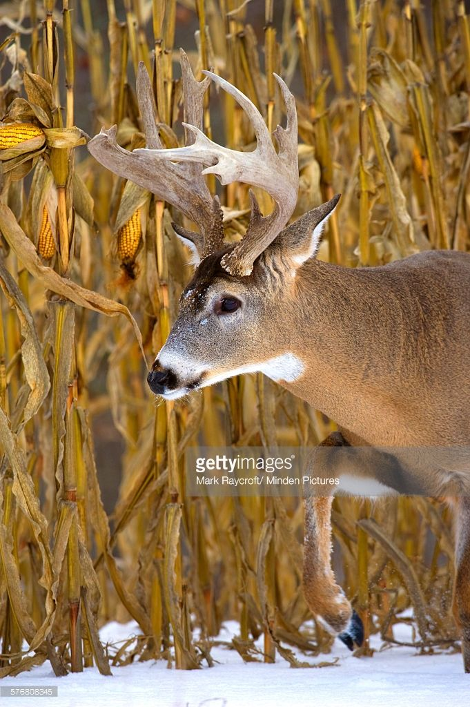 Stock Photo : White-tailed Deer (Odocoileus virginianus) buck in ...