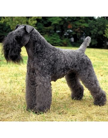 The Kerry Blue Terrier Great For Allergy Sufferers Dog Breeds