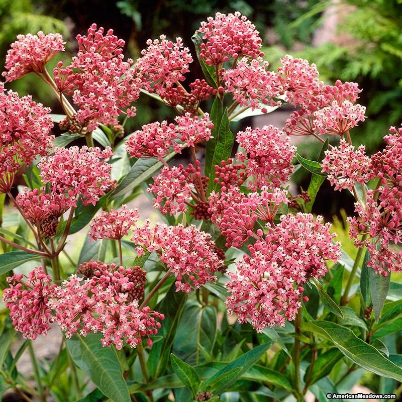 Cinderella swamp milkweed perennials gardens and drought tolerant beautiful native perennial that produces clusters of fragrant pink flowers in late summer its a great addition to your garden and is very popular with mightylinksfo Gallery