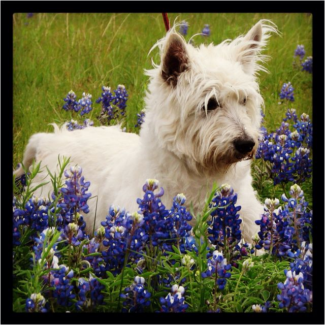 Cartman, the Westhighland Terrier. the Texas