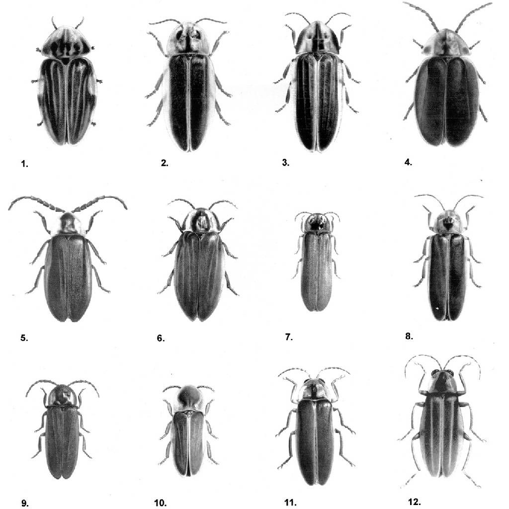 Fireflies_NorthAmerica | Firefly | Pinterest | Fireflies and Creatures for Firefly Drawing Scientific  585eri