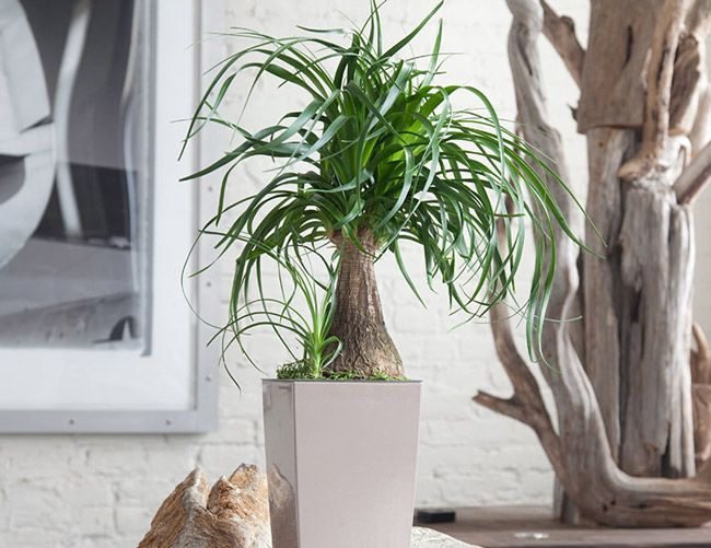 Charming 10 Best Indoor Plants For Men. Ponytail Palm Ponytail Palm. Best Windowsill  Plant