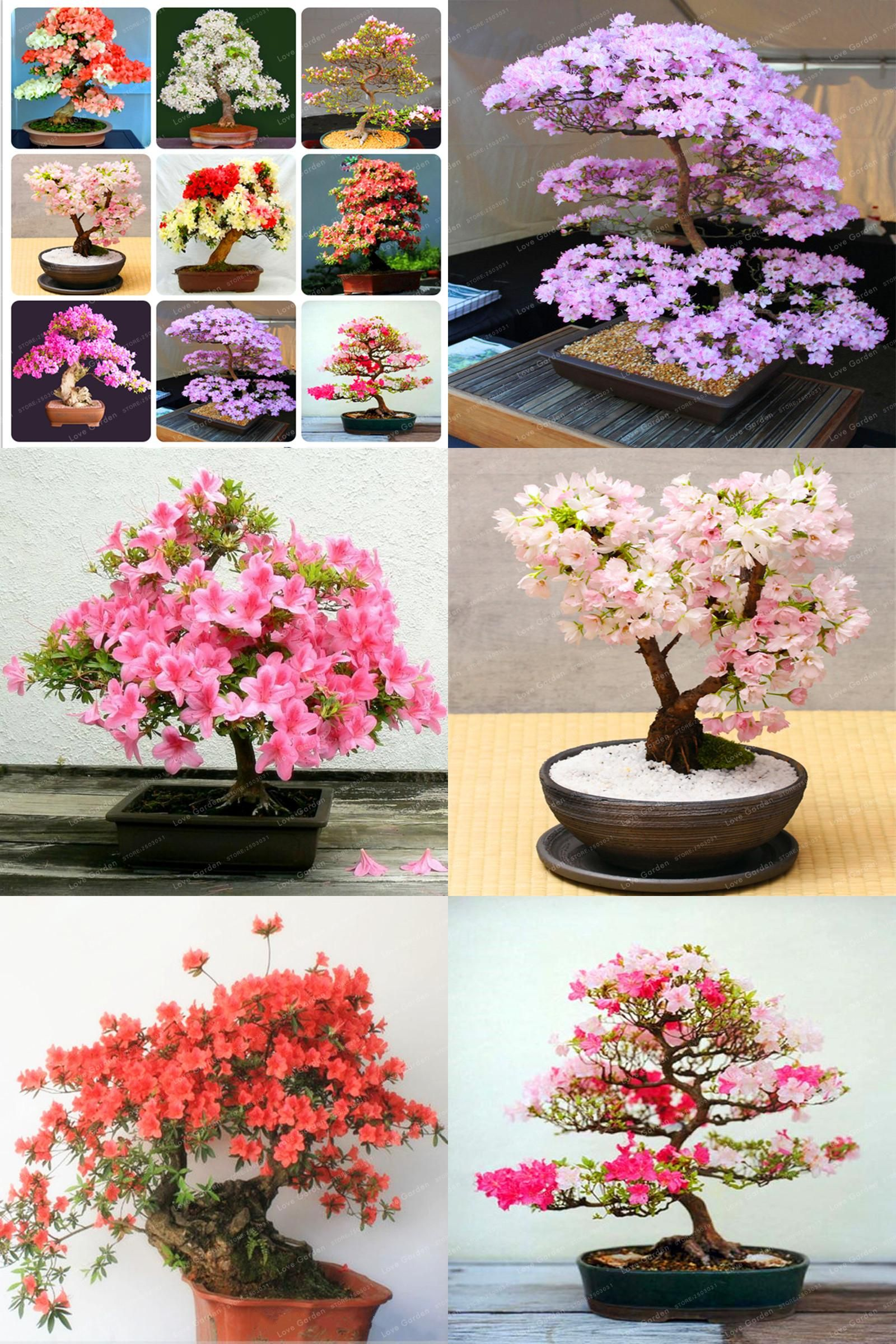 Visit To Buy Rare Sakura Seeds Bonsai Flower Cherry Blossoms Tree Cherry Blossom Seeds Bonsai Plants For Home Bonsai Flower Cherry Blossom Tree Bonsai Plants