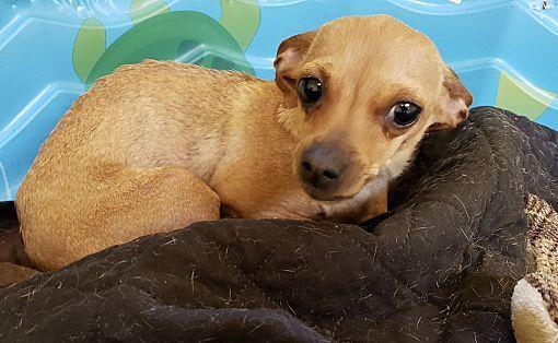 New York, NY Chihuahua. Meet Tipsy *FOSTER NEEDED* a Dog