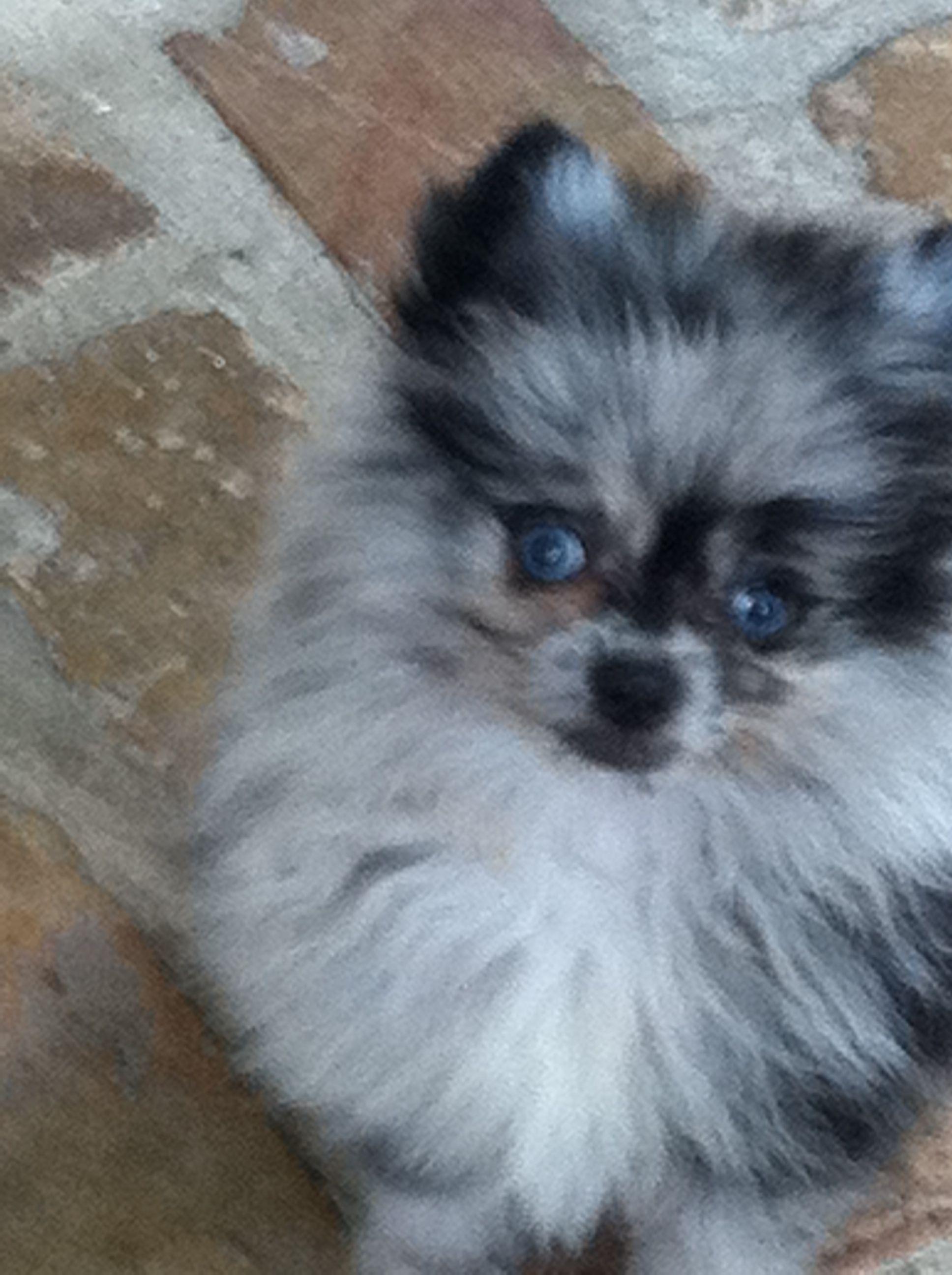 Blue Eyed Pomeranians Akc Silver Blue Merle W Ocean Blue Eyes
