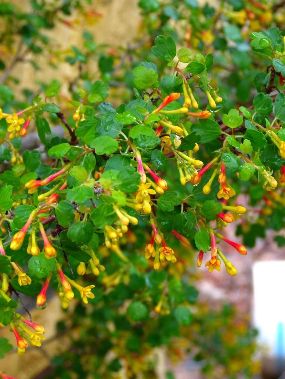 Ribes Aureum Gracillimum Golden Currant Berries And Flowers For