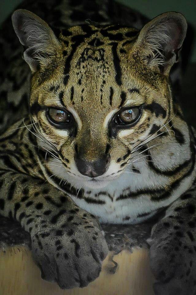 Ocelot Animals beautiful, Domestic cat breeds, Domestic cat