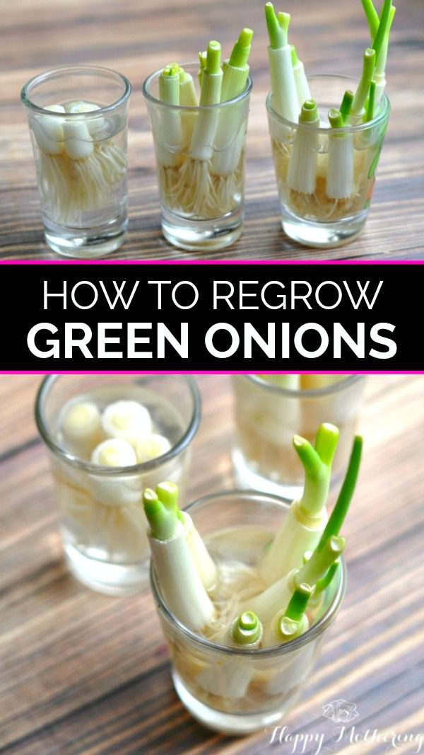 How to Re-Grow Green Onions