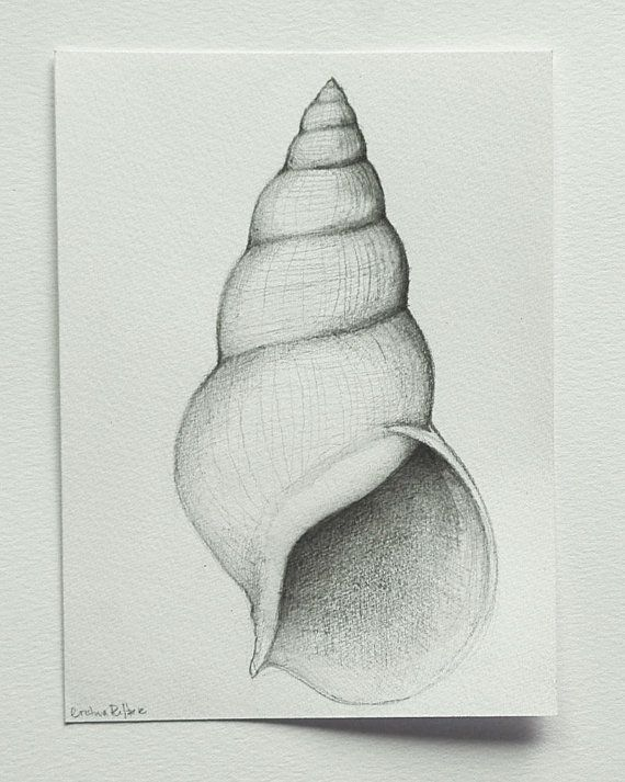 Contour Line Drawing Shell : Shell number original pencil drawing on by