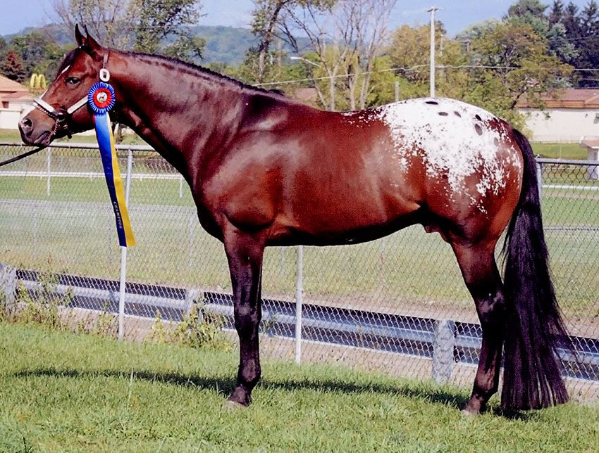 Zips Dark Chocolate 2003 APPALOOSA STALLION THE MIRACLE CHIP X ZIP AROUND ROSIE
