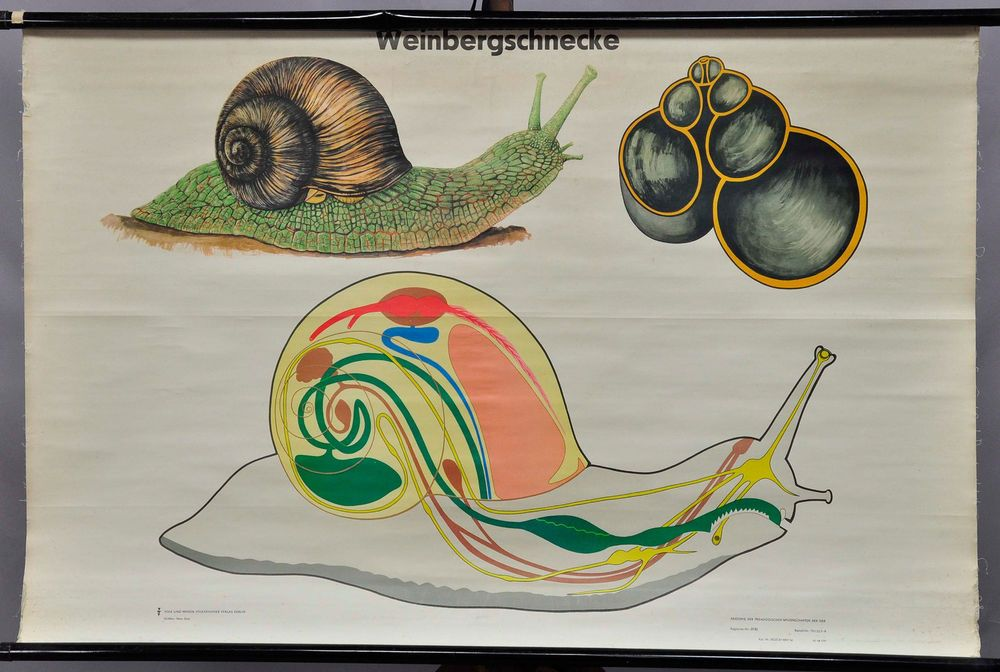 Vintage Pull Down Wall Chart French Escargot Apple Snail Shell
