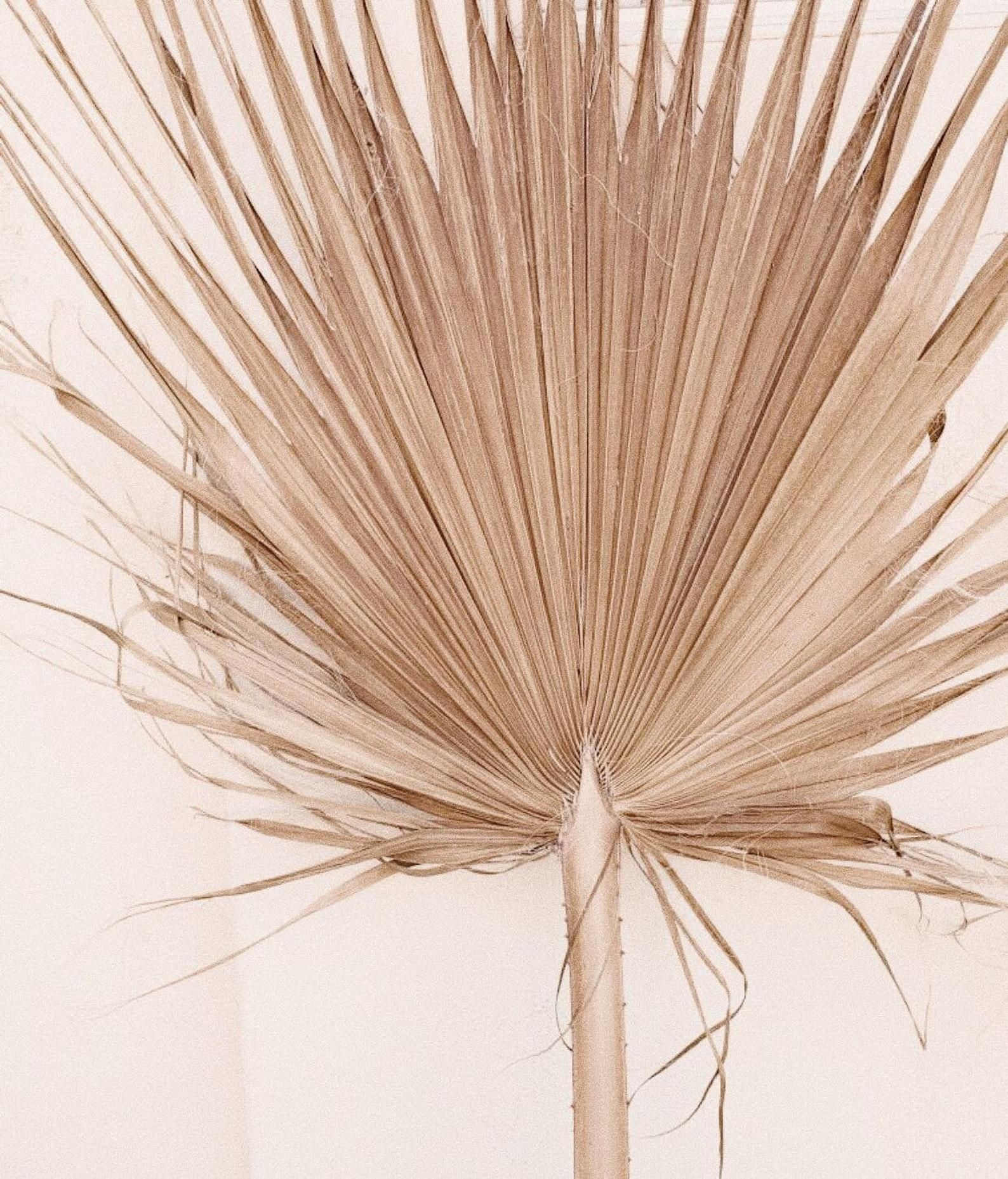 Giant Sun Dried Fan Palm Giant Home Decor Tropical Decor Wall Decor Palm Dried Palm Leaf Fan Palm Large Vases Decor Tropical Decor