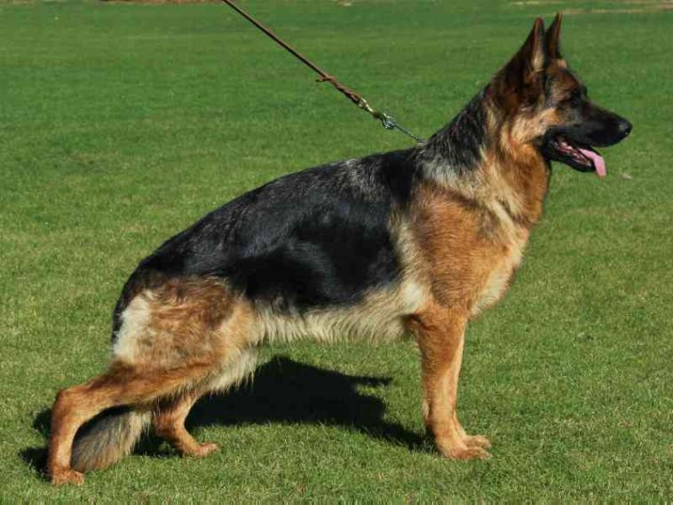 German Shepherd Dog Female for Sale Granddaughter of VA
