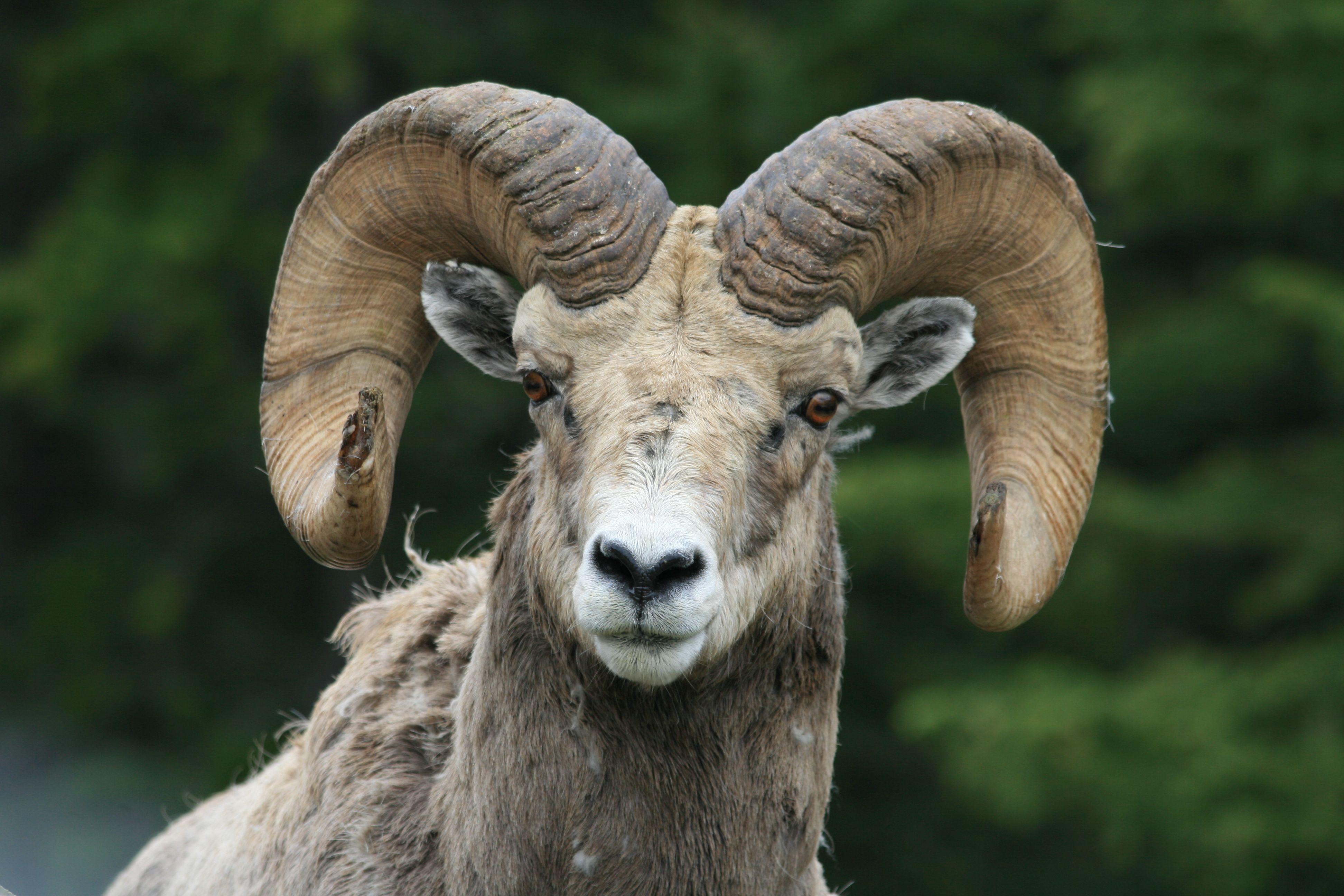 Long horn sheep..these animals are spectacular in their