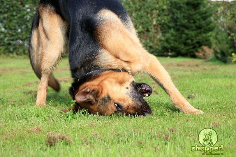 Find Out How To Address German Shepherd Disobedience Problems