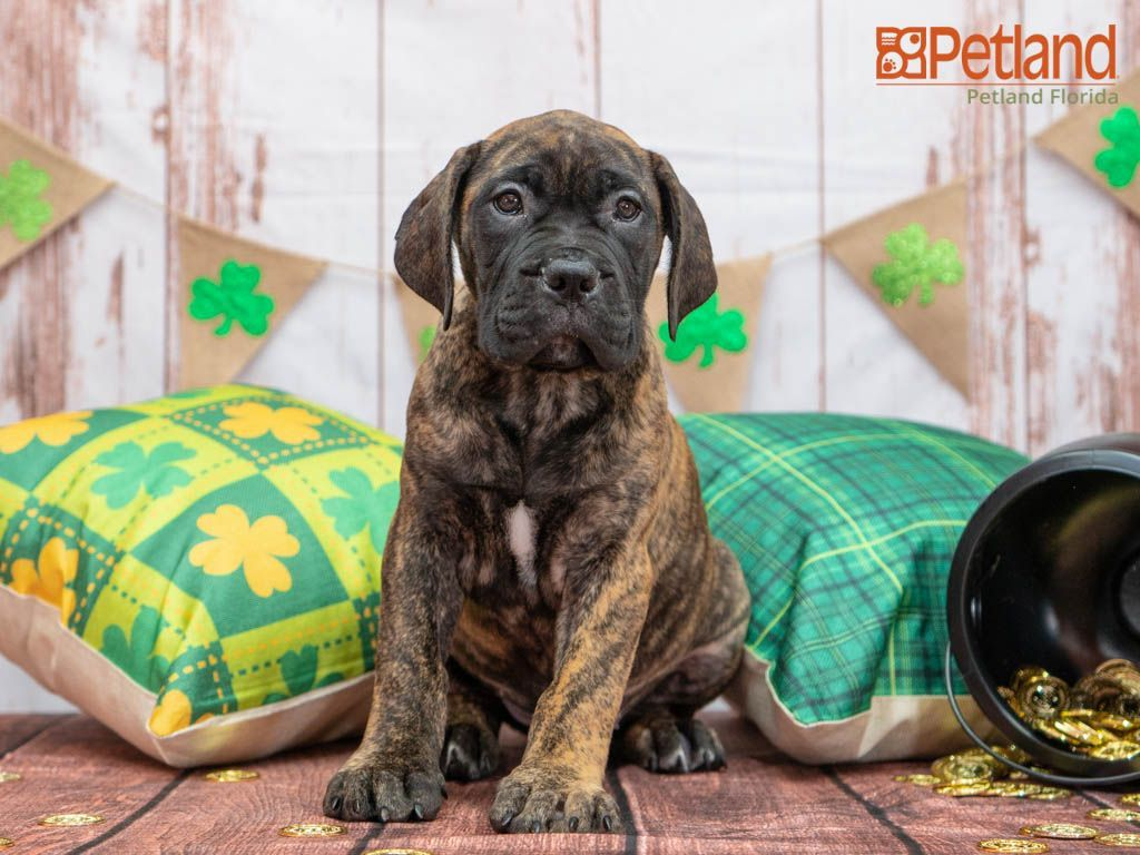 Puppies For Sale in 2020 Bullmastiff puppies for sale