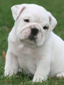 Elvis English Bulldog Puppy Bulldog English Bulldog Puppies
