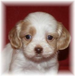 Adopt Male 1 on King charles spaniel, Cavalier king
