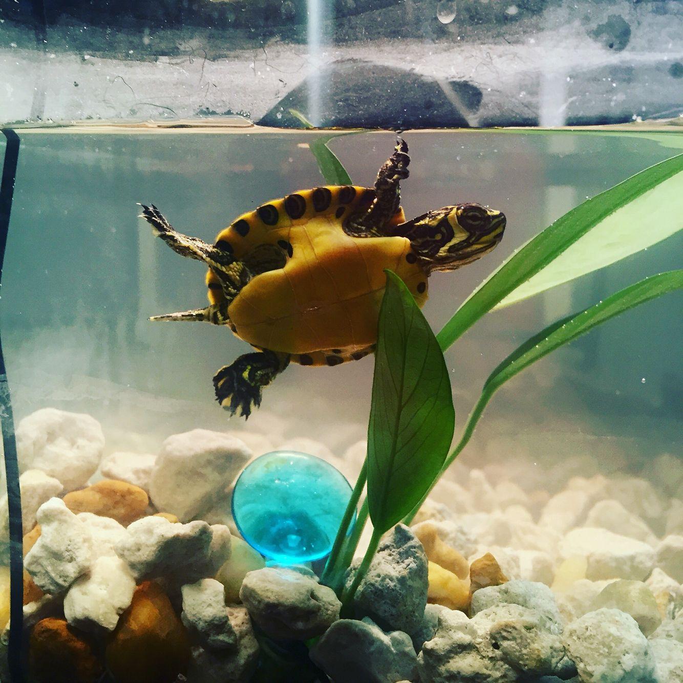 Yellow Bellied Slider Baby Turtle Baby Turtles Pet Turtle Turtle Tank