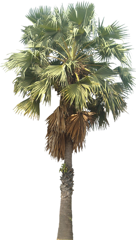 Tropical Plant Pictures Palm Palm Tree Drawing Plant Pictures Bonsai Tree Painting